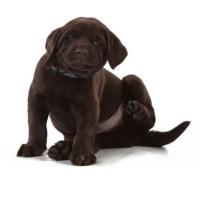 собака-блохи (1)